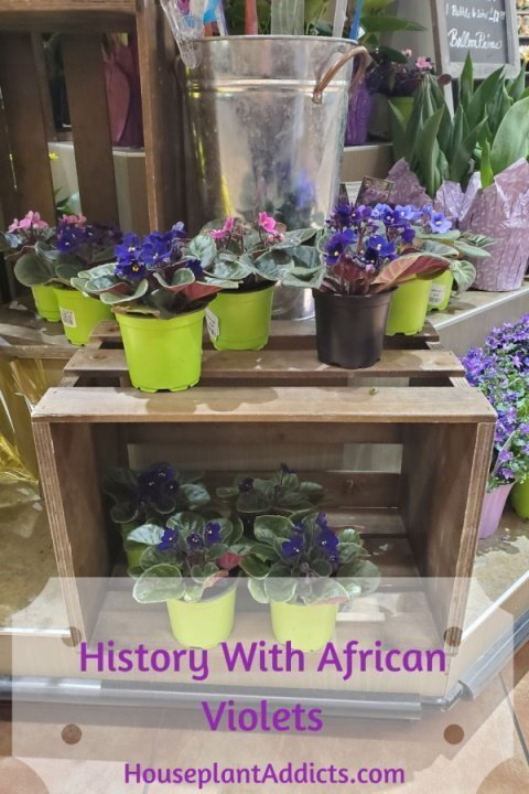 History With African Violets