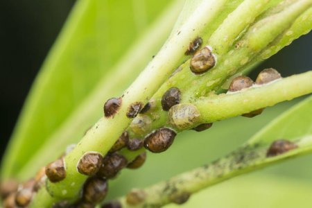 Scale insects on a hoseplant