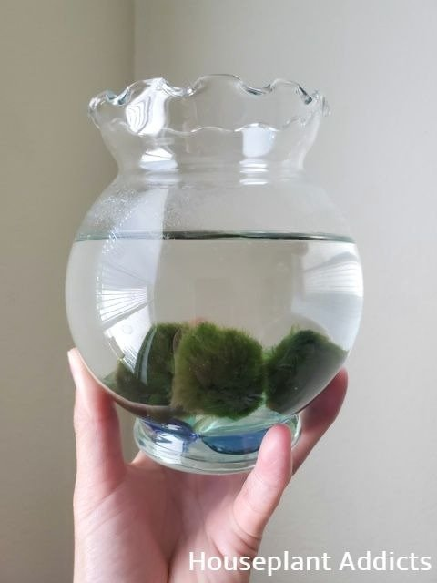 Medium Size Moss Balls in Glass Globe