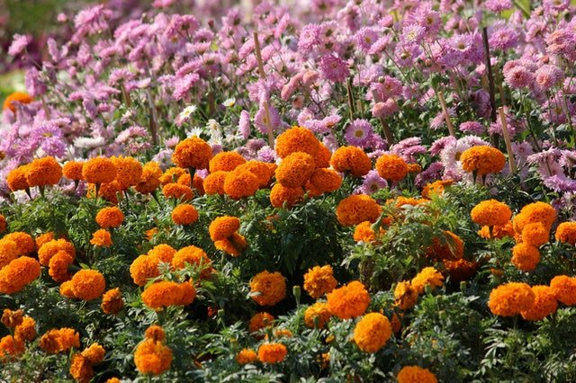 How Marigolds Benefit Your Garden - social media