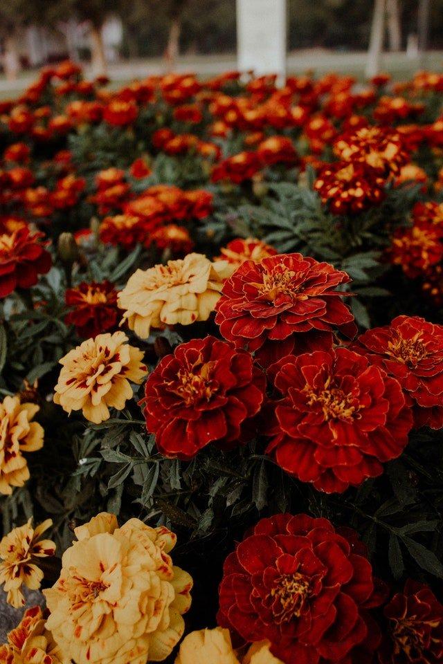 How Marigolds Benefit Your Garden