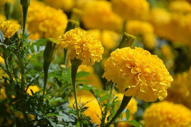 How To Grow Marigolds As Houseplants - social media