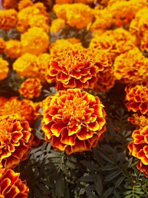 How To Grow Marigolds As Houseplants
