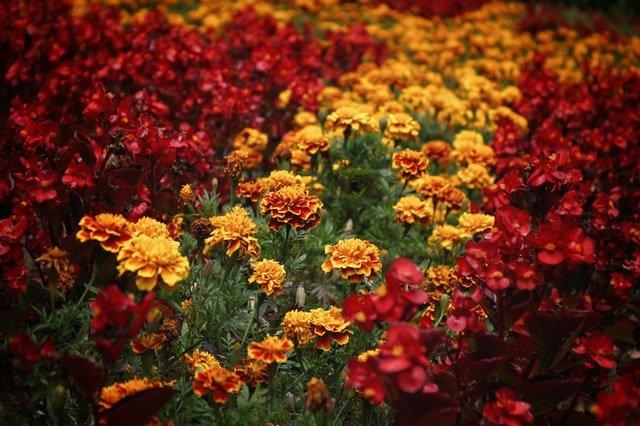How To Grow Marigolds - social media