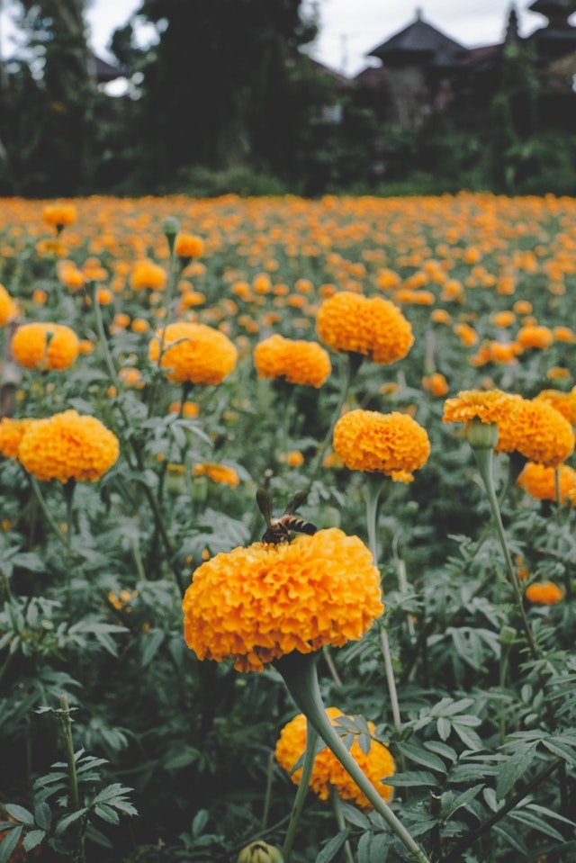 How To Grow Marigolds