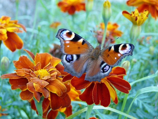 Marigolds attract butterflies