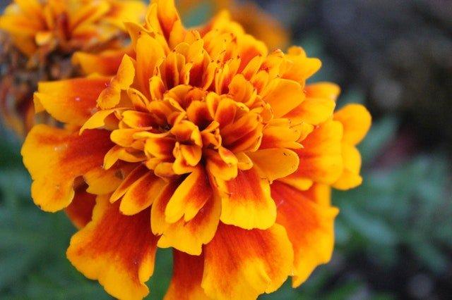 Orange Marigold upclose