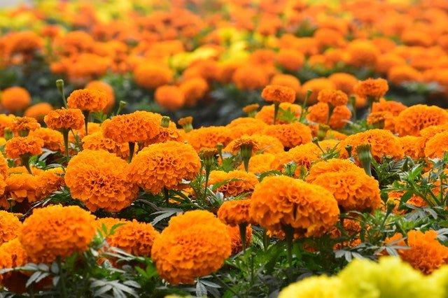 Unique Ways To Use Marigolds - social media