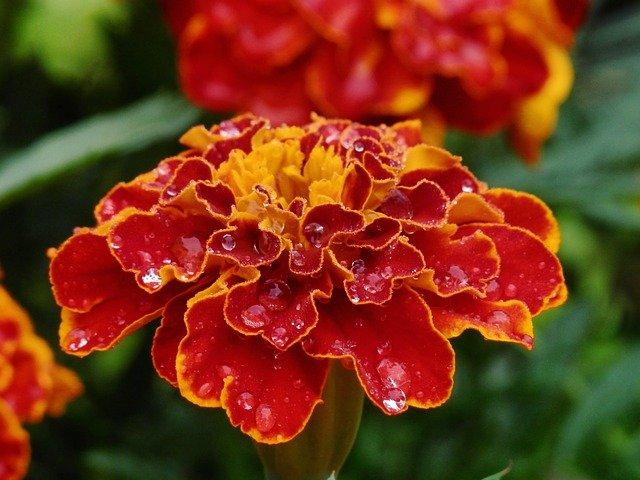 Watering marigolds