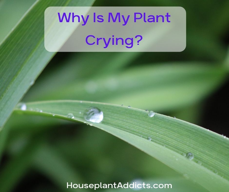Why Is My Plant Crying?
